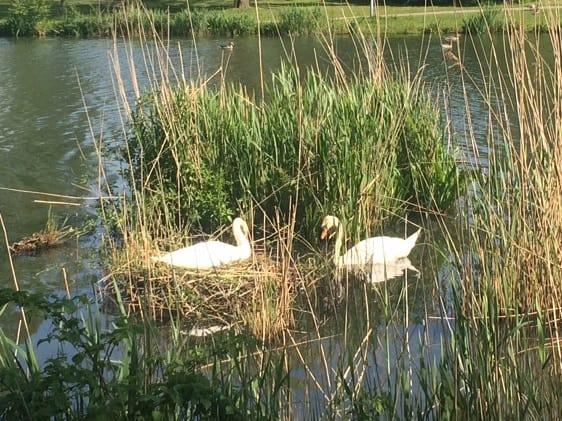 Reinekke Lengelle - Swans