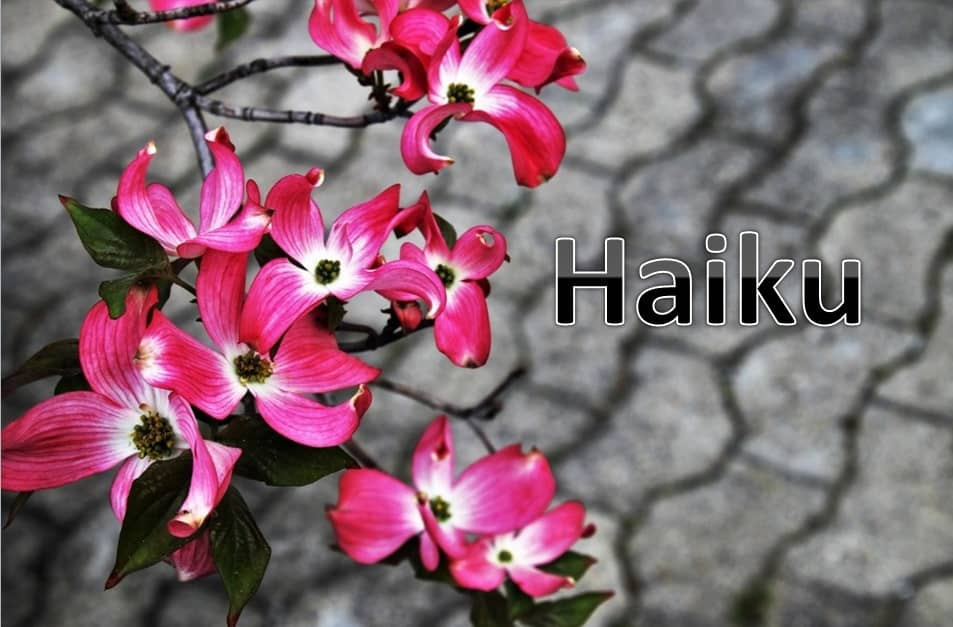 "cherry blossoms with the word ""Haiku"""