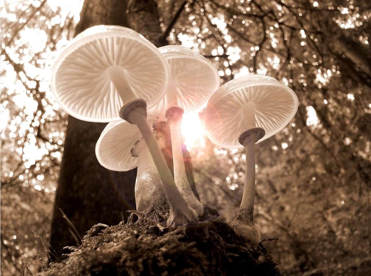 Marshmallows and Wood-Ear Mushrooms