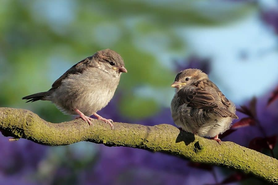 Because the Sparrows