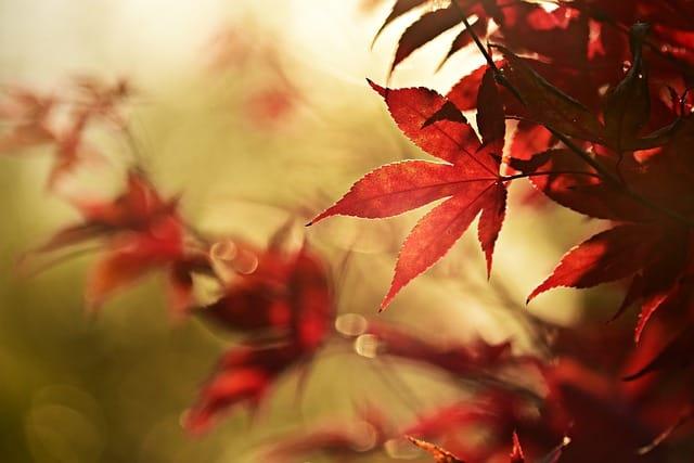 Laura Sergeant's Japanese Maple Tree