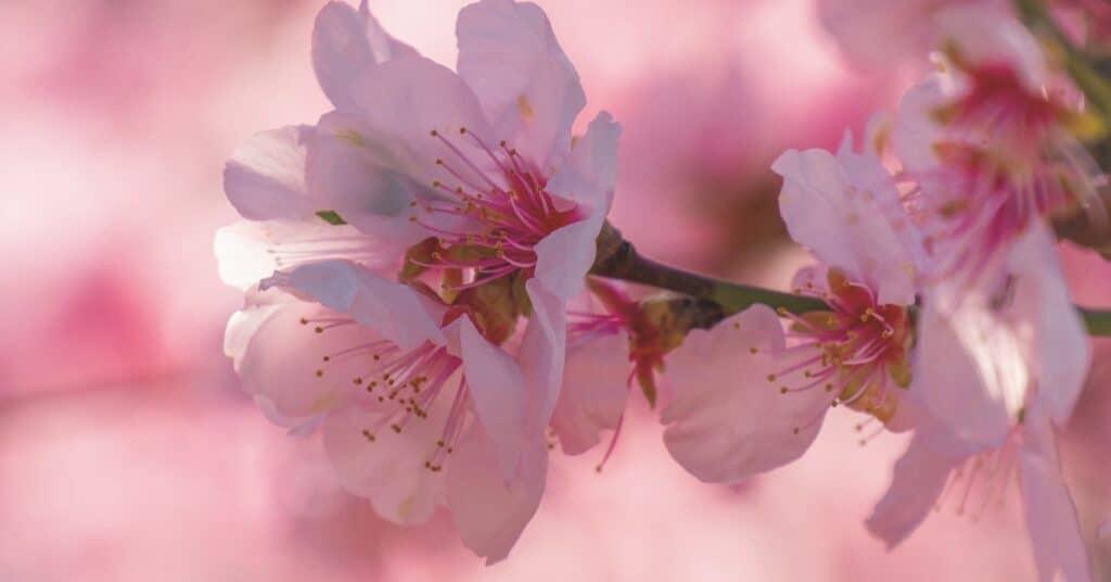 Haiku Contest - Cherry Blossoms